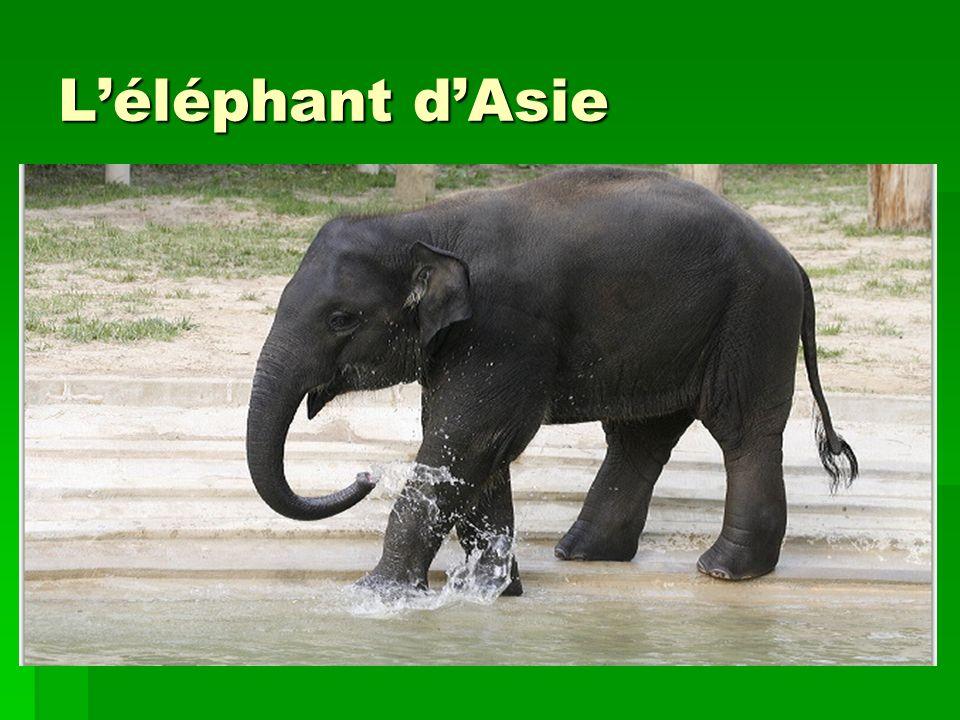 Léléphant dAsie