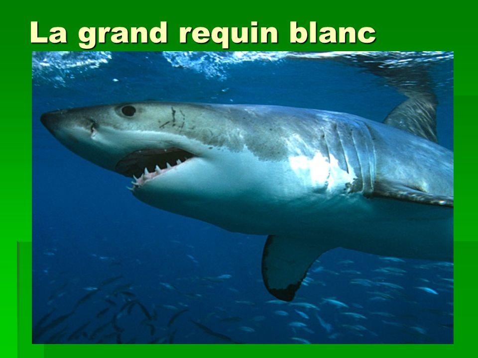 La grand requin blanc
