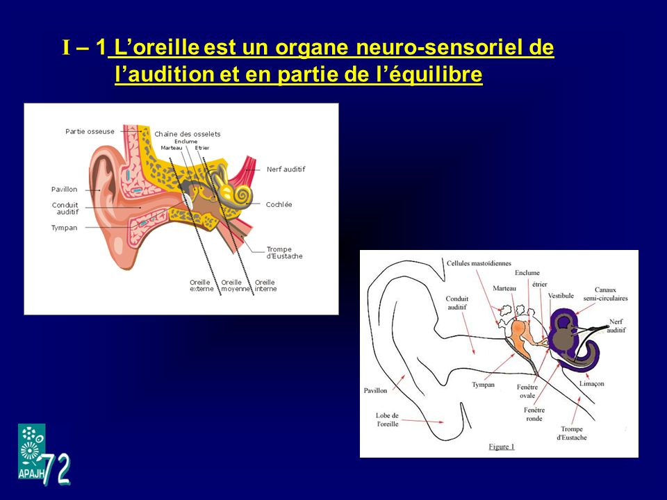I – 1 Loreille est un organe neuro-sensoriel de laudition et en partie de léquilibre