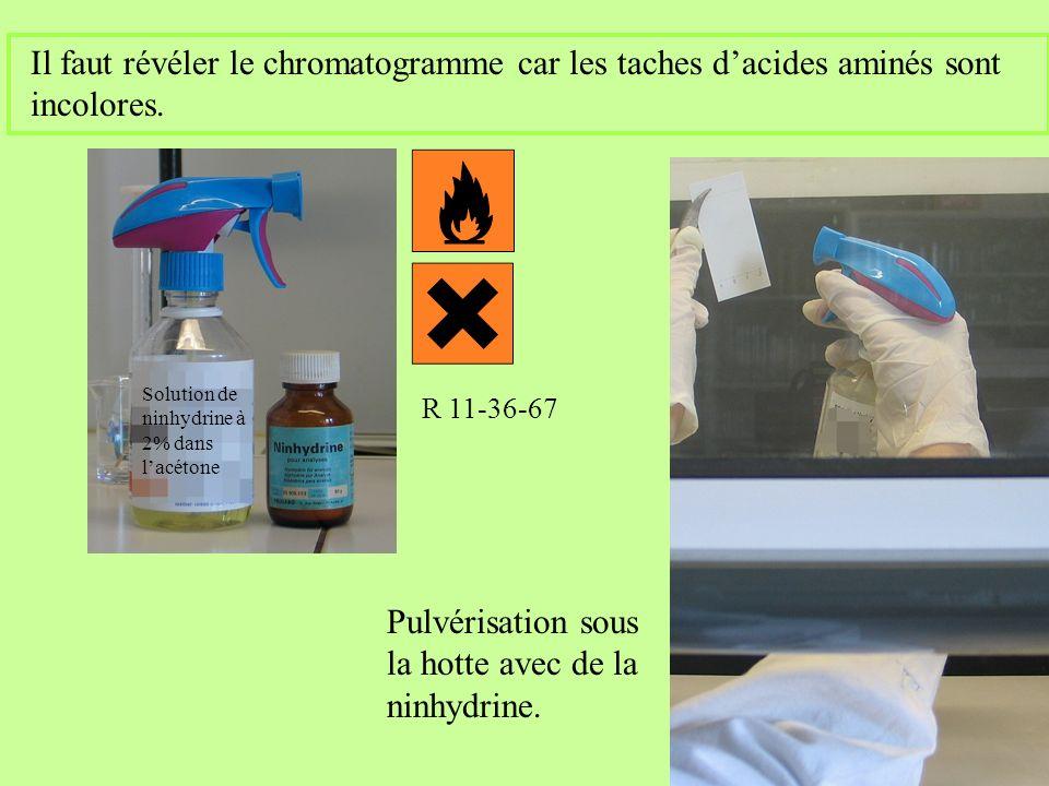 Il faut révéler le chromatogramme car les taches dacides aminés sont incolores. Pulvérisation sous la hotte avec de la ninhydrine. R 11-36-67 Solution