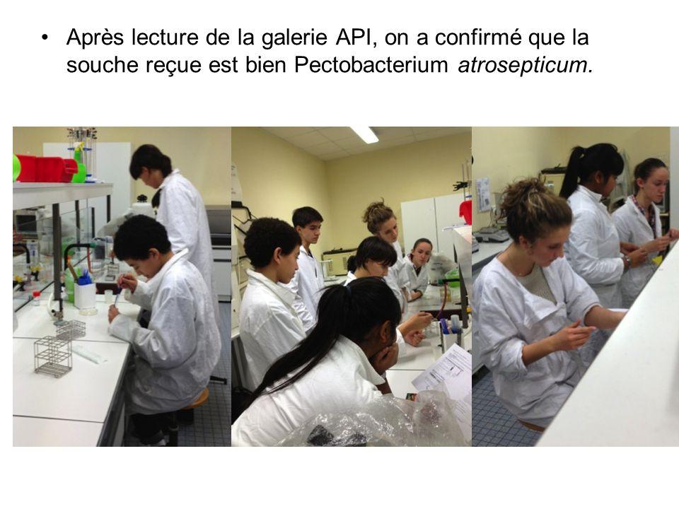 Après lecture de la galerie API, on a confirmé que la souche reçue est bien Pectobacterium atrosepticum.
