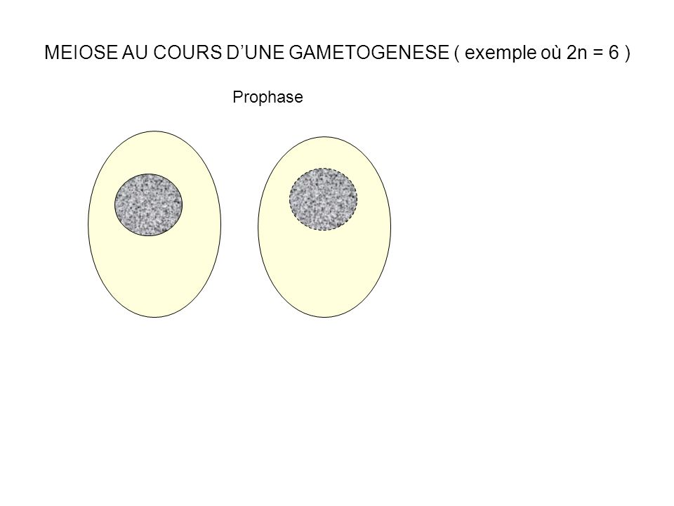 MEIOSE AU COURS DUNE GAMETOGENESE ( exemple où 2n = 6 ) Prophase