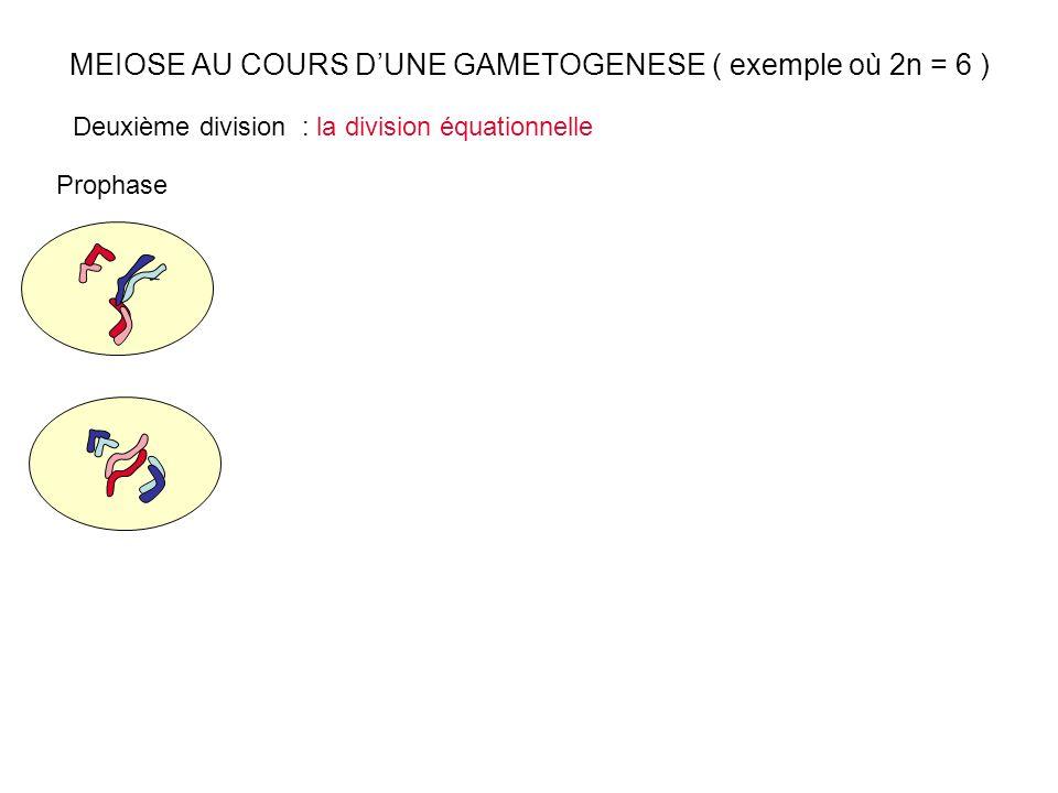 MEIOSE AU COURS DUNE GAMETOGENESE ( exemple où 2n = 6 ) Prophase Deuxième division : la division équationnelle