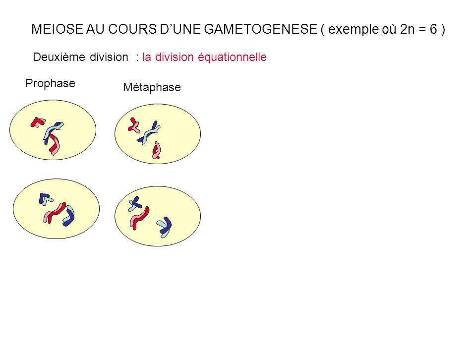 MEIOSE AU COURS DUNE GAMETOGENESE ( exemple où 2n = 6 ) Prophase Métaphase Deuxième division : la division équationnelle