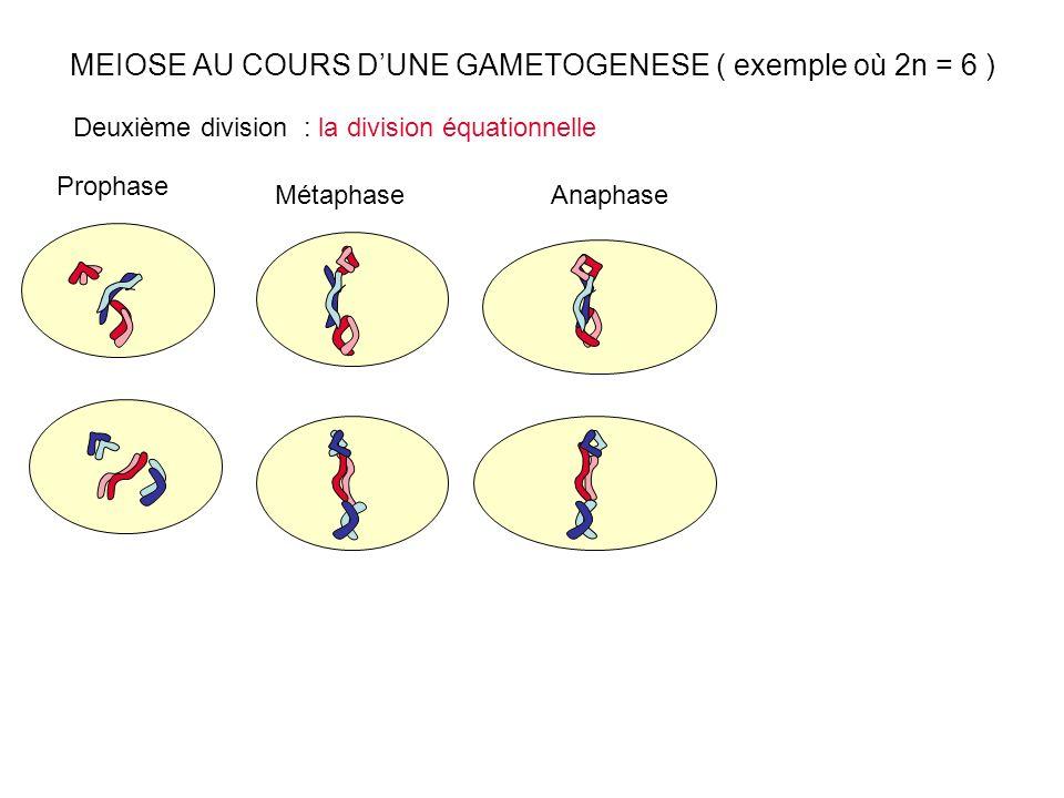 MEIOSE AU COURS DUNE GAMETOGENESE ( exemple où 2n = 6 ) Prophase Métaphase Deuxième division : la division équationnelle Anaphase