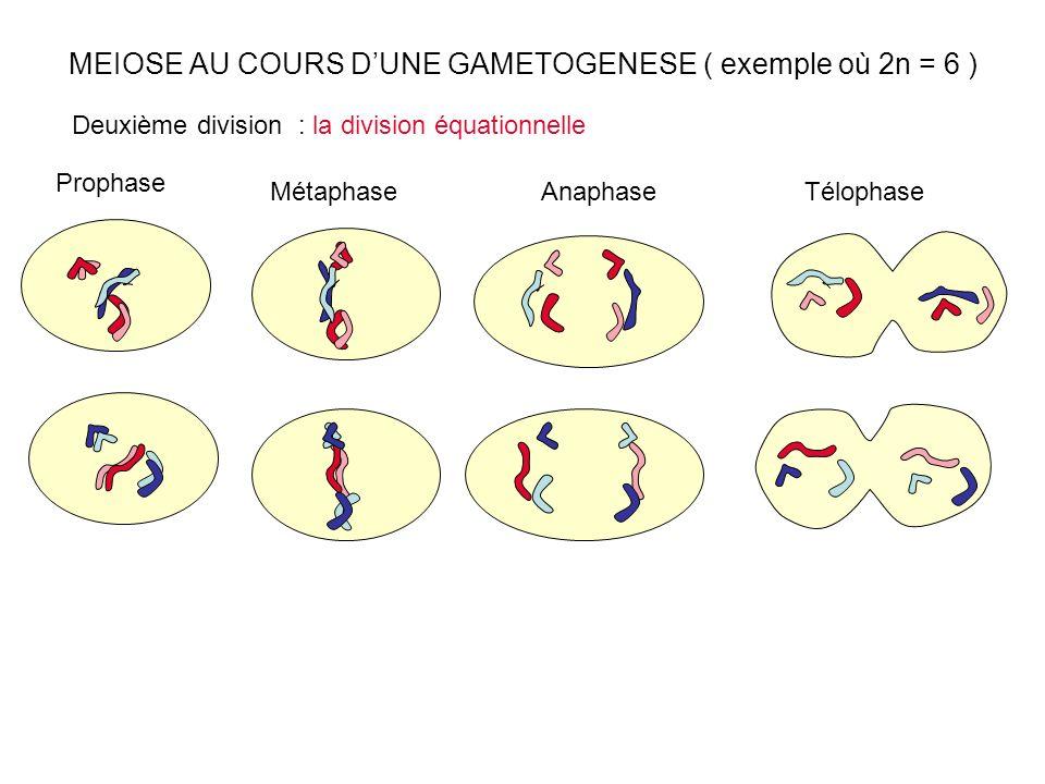 MEIOSE AU COURS DUNE GAMETOGENESE ( exemple où 2n = 6 ) Prophase Métaphase Deuxième division : la division équationnelle AnaphaseTélophase