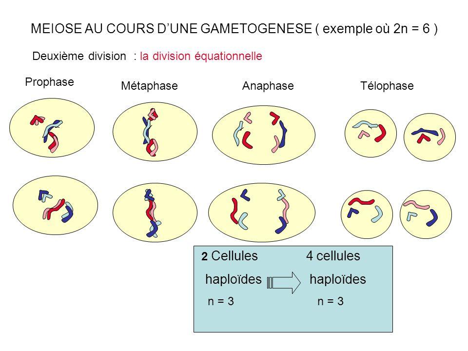 MEIOSE AU COURS DUNE GAMETOGENESE ( exemple où 2n = 6 ) Prophase Métaphase Deuxième division : la division équationnelle 2 Cellules 4 cellules haploïd