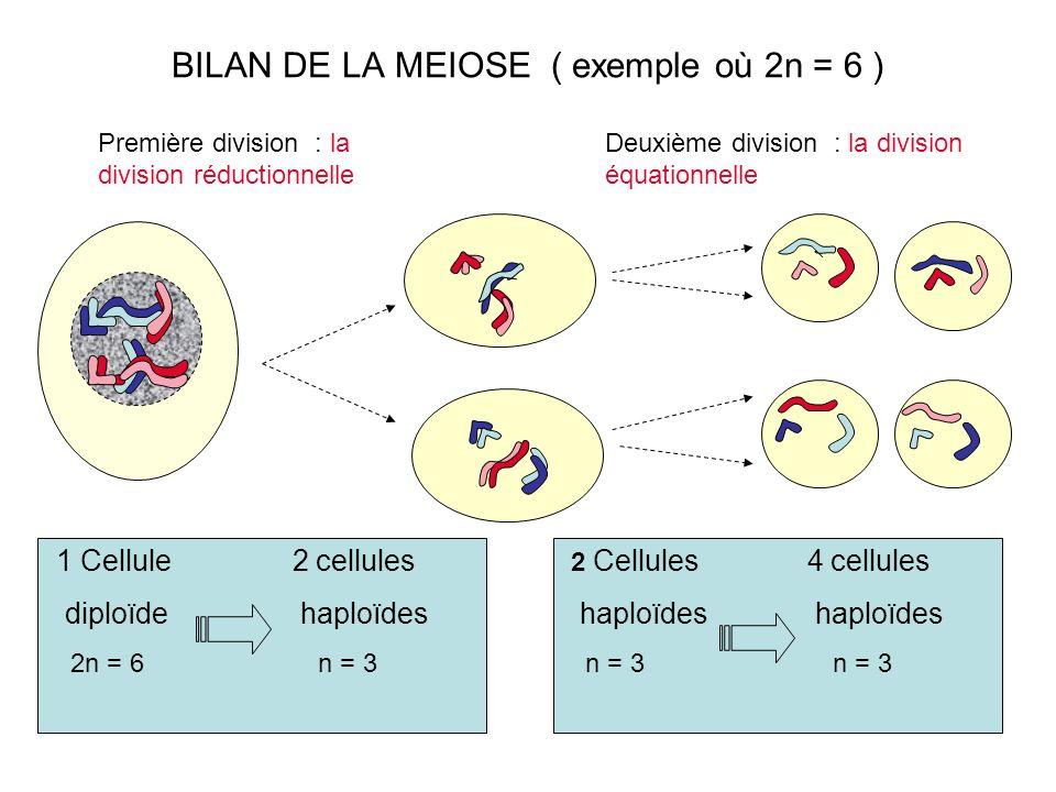 BILAN DE LA MEIOSE ( exemple où 2n = 6 ) Deuxième division : la division équationnelle 2 Cellules 4 cellules haploïdes haploïdes n = 3 n = 3 Première