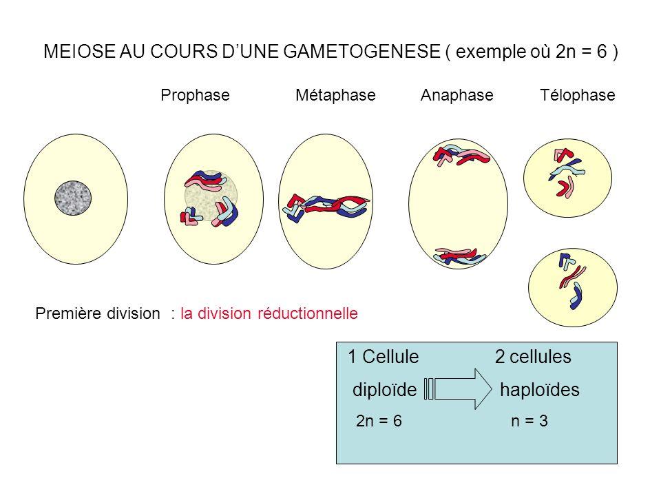 MEIOSE AU COURS DUNE GAMETOGENESE ( exemple où 2n = 6 ) ProphaseMétaphaseAnaphaseTélophase Première division : la division réductionnelle 1 Cellule 2