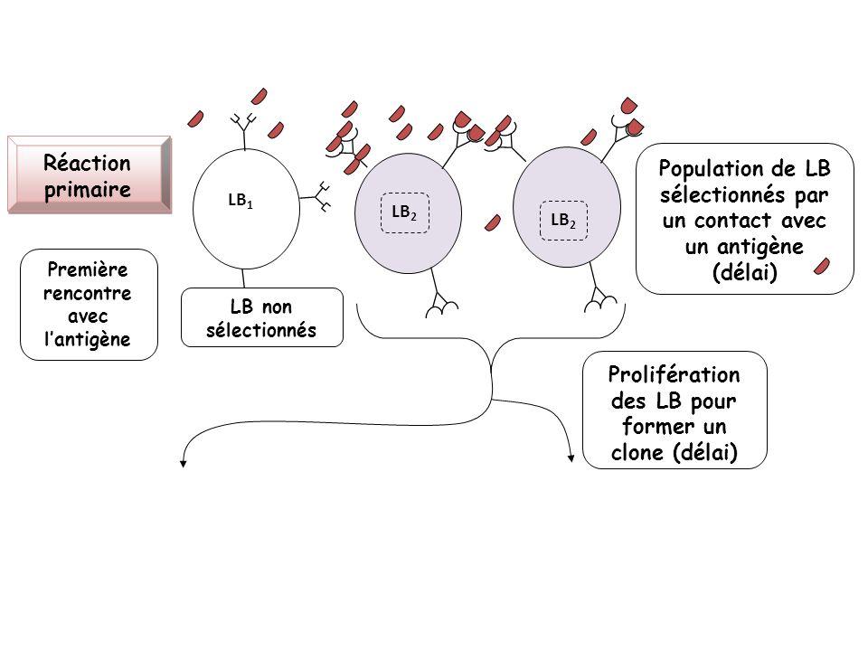 LB 2 LB 1 LB 2 Réaction primaire Population de LB sélectionnés par un contact avec un antigène (délai) LB non sélectionnés Prolifération des LB pour f