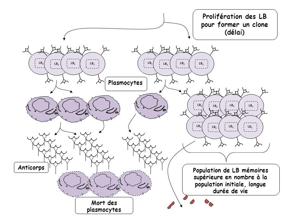 LB 2 Population de LB mémoires supérieure en nombre à la population initiale, longue durée de vie Plasmocytes Prolifération des LB pour former un clon