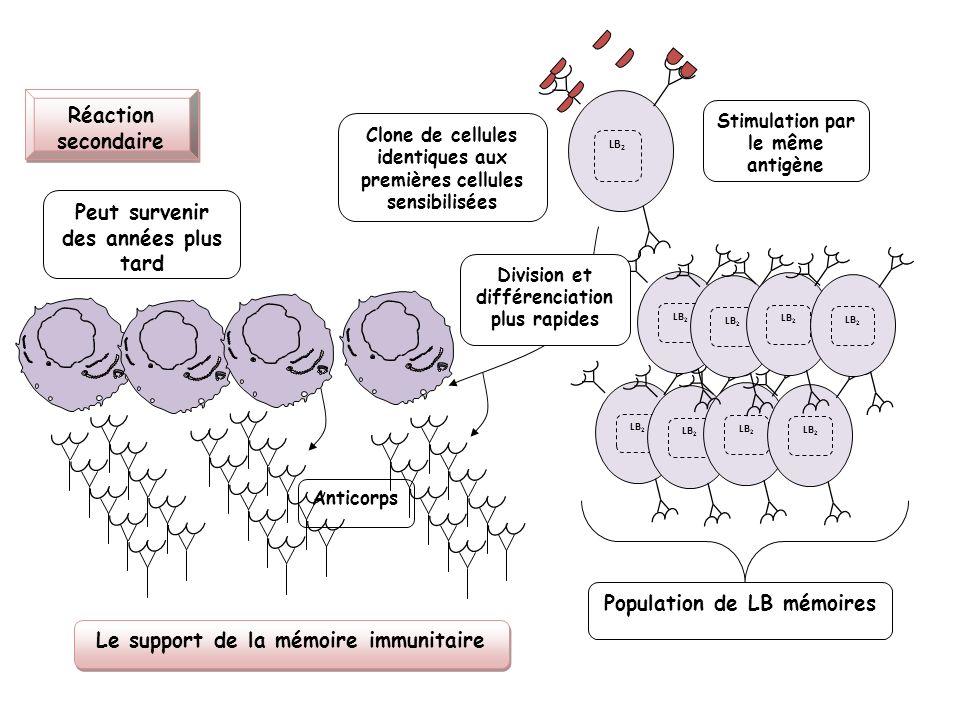LB 2 Réaction secondaire Stimulation par le même antigène Clone de cellules identiques aux premières cellules sensibilisées LB 2 Peut survenir des ann