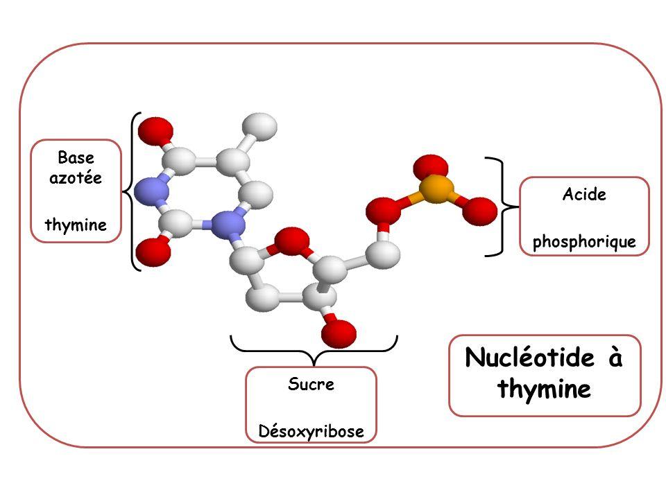 Base azotée thymine Acide phosphorique Sucre Désoxyribose Nucléotide à thymine