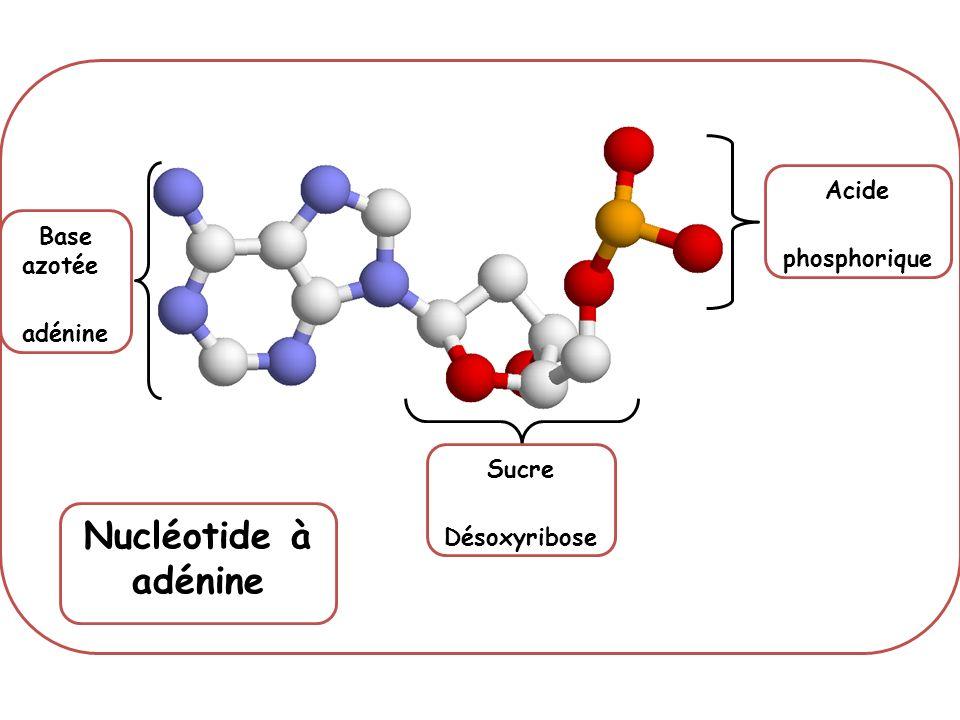 Base azotée adénine Sucre Désoxyribose Acide phosphorique Nucléotide à adénine