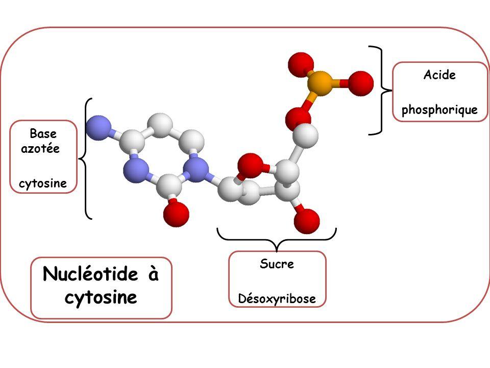 Base azotée thymine Base azotée adénine Acide phosphorique Sucre Liaisons faibles Association de 2 nucléotides Nucléotide à adénine, hélice B Nucléotide à thymine, hélice A Acide phosphorique