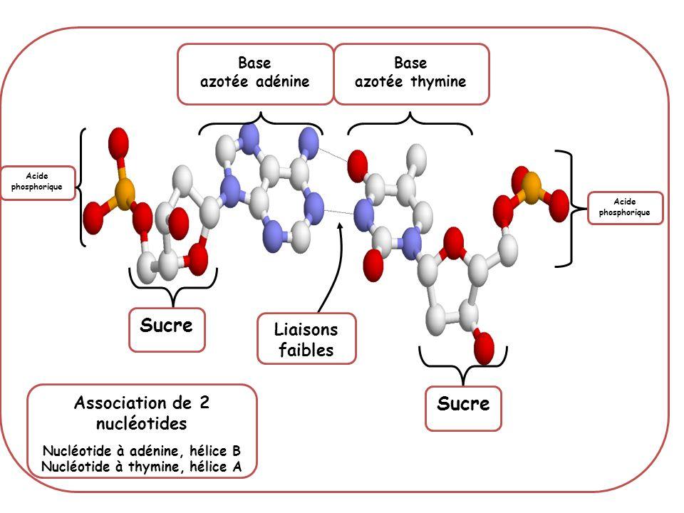 Hélice B Hélice A Nucléotide à adénine Nucléotide à cytosine Nuc léotide à thymine Nucléotide à guanine A T C G Fragment dADN composé de 4 nucléotides Liaisons faibles Les constituants et lorganisation de la molécule dADN