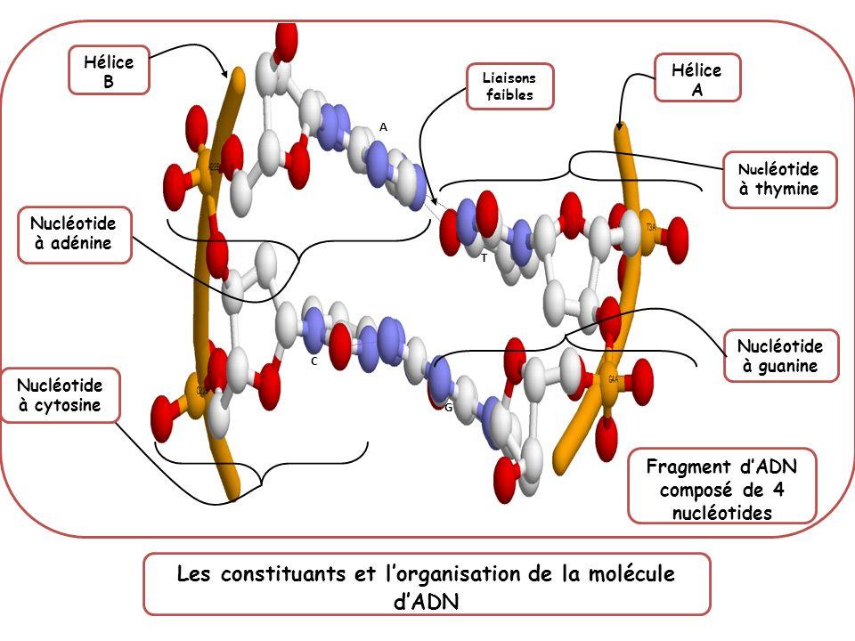 Hélice B Hélice A Nucléotide à adénine Nucléotide à cytosine Nuc léotide à thymine Nucléotide à guanine A T C G Fragment dADN composé de 4 nucléotides