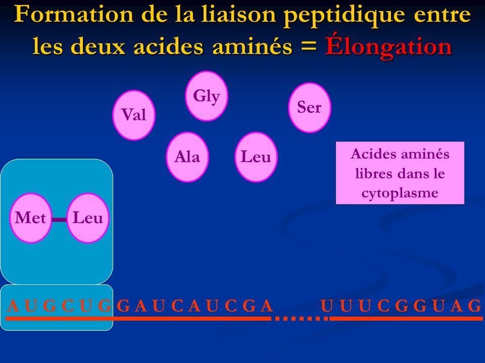 Formation de la liaison peptidique entre les deux acides aminés = Élongation A U G C U G G A U C A U C G AU U U C G G U A G MetAlaLeuValGlySer Acides