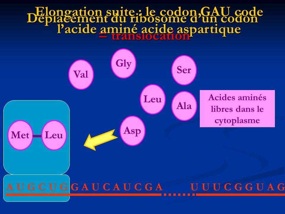 Déplacement du ribosome dun codon = translocation A U G C U G G A U C A U C G AU U U C G G U A G AlaLeuValGlySer Acides aminés libres dans le cytoplas