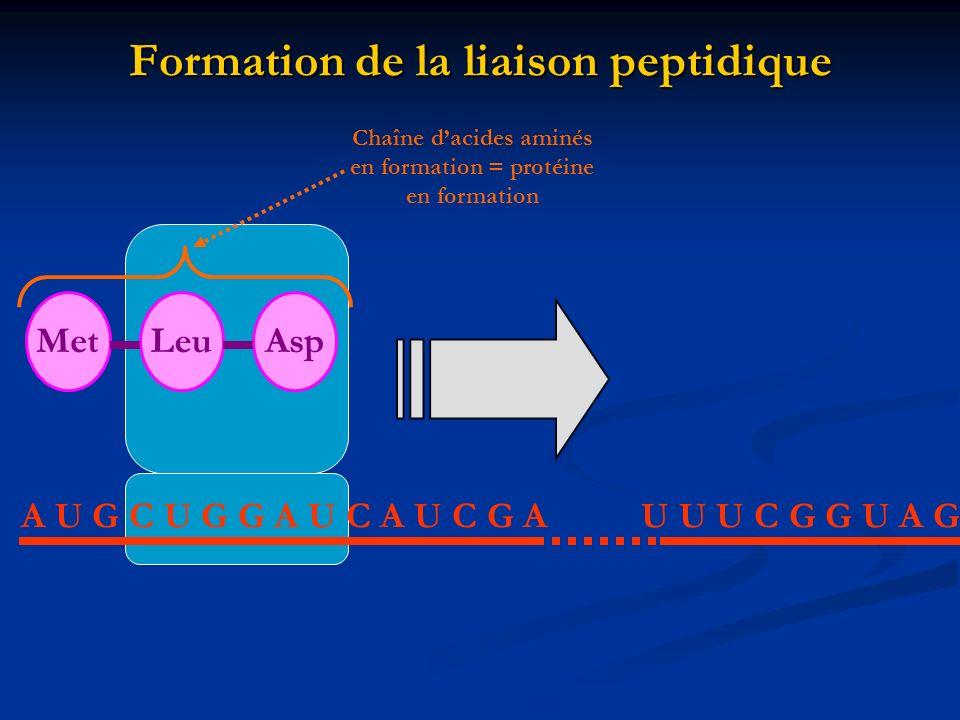 Formation de la liaison peptidique A U G C U G G A U C A U C G AU U U C G G U A G MetLeuAsp Chaîne dacides aminés en formation = protéine en formation