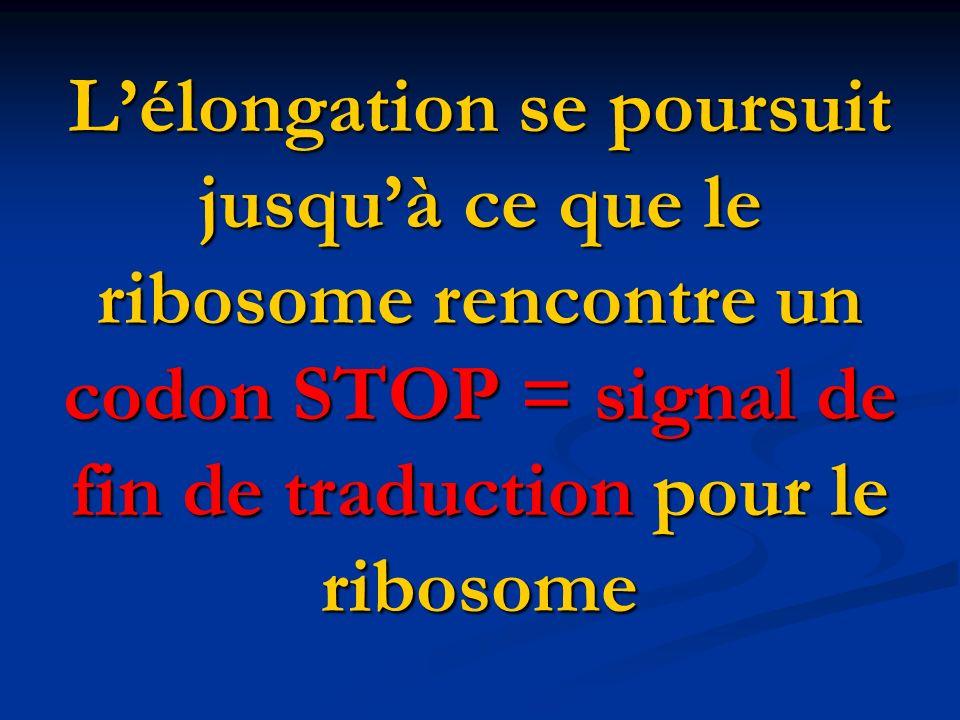 Lélongation se poursuit jusquà ce que le ribosome rencontre un codon STOP = signal de fin de traduction pour le ribosome