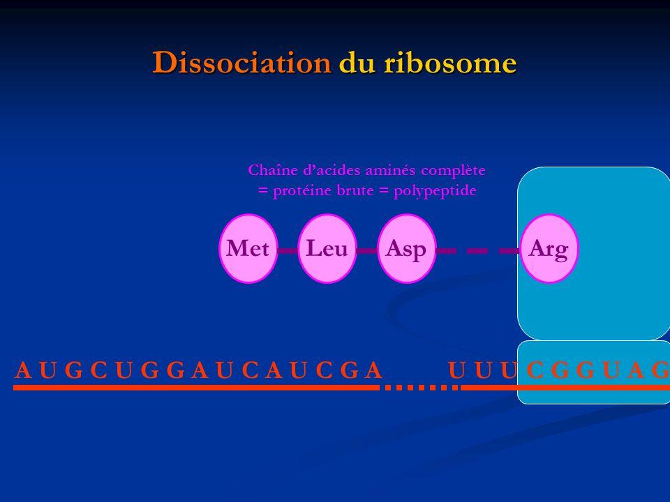 Dissociation du ribosome A U G C U G G A U C A U C G AU U U C G G U A G MetLeuAspArg Chaîne dacides aminés complète = protéine brute = polypeptide