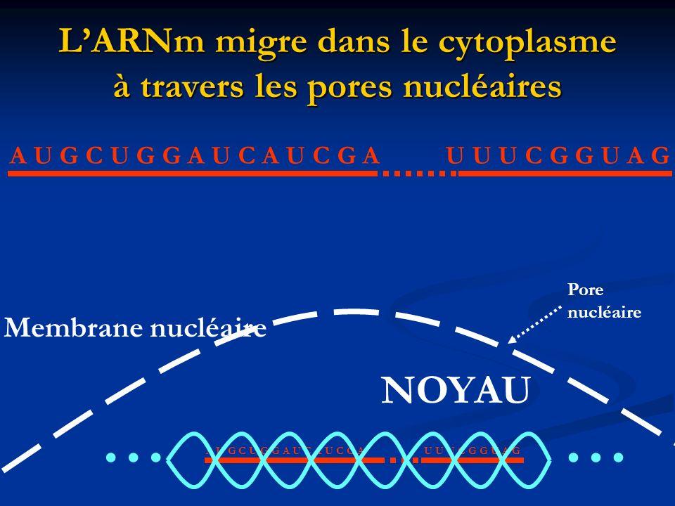 LARNm migre dans le cytoplasme à travers les pores nucléaires A U G C U G G A U C A U C G AU U U C G G U A G NOYAU Membrane nucléaire …… Pore nucléair