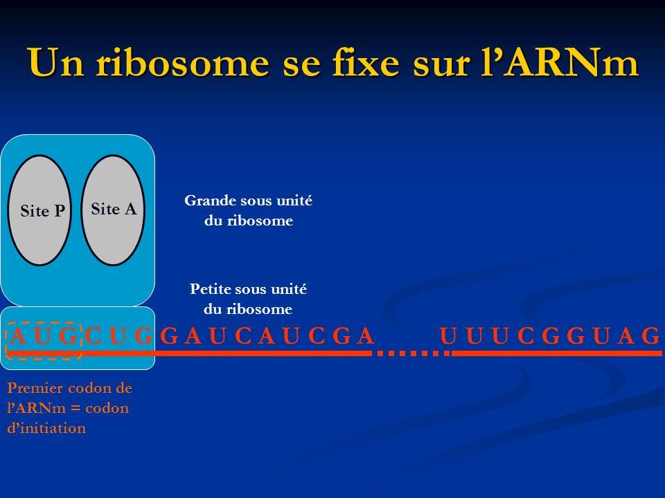Un ribosome se fixe sur lARNm A U G C U G G A U C A U C G AU U U C G G U A G Site P Site A Petite sous unité du ribosome Grande sous unité du ribosome