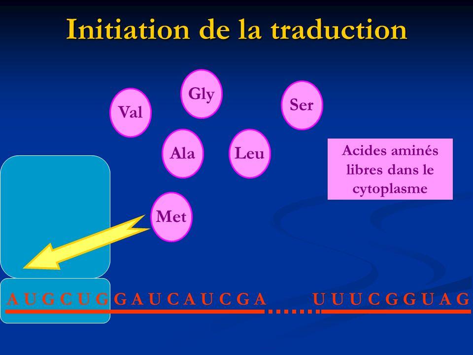 Initiation de la traduction A U G C U G G A U C A U C G AU U U C G G U A G Met AlaLeu Val Gly Ser Acides aminés libres dans le cytoplasme