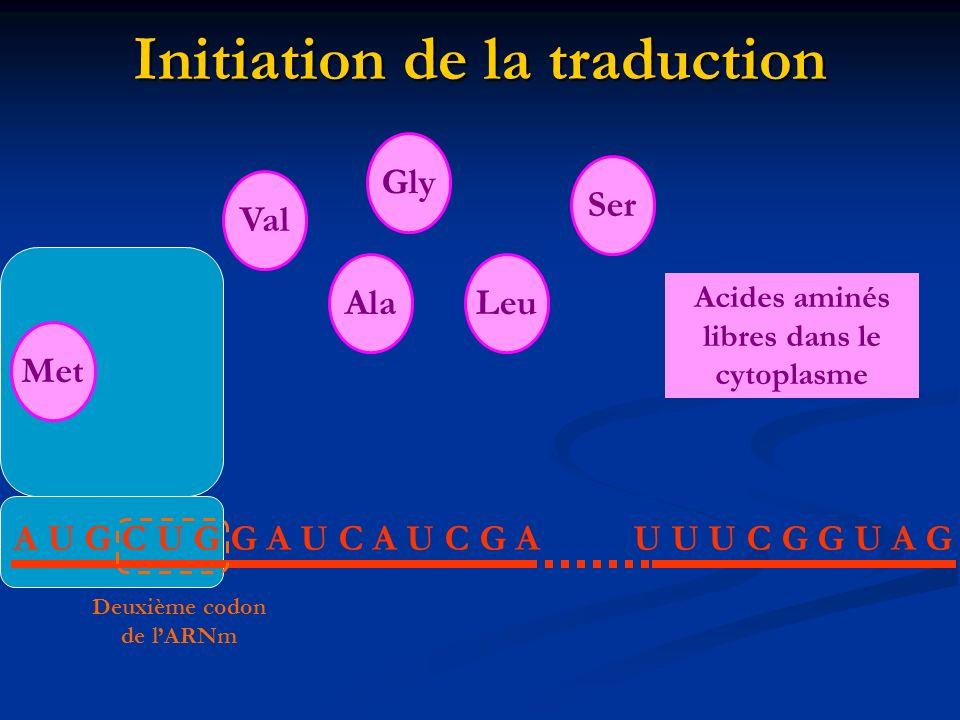 Initiation de la traduction A U G C U G G A U C A U C G AU U U C G G U A G MetAlaLeuValGlySer Acides aminés libres dans le cytoplasme Deuxième codon d