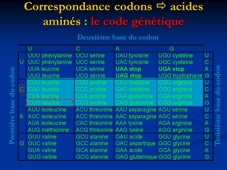 T A C G A C C T A G T A G C T A T G C T G G A T C A T C G A A A A G C C A T C T T T C G G T A G A U G C U G G A U C A U C G AU U U C G G U A G MetLeuAspArg GENE X ADN Transcription Traduction Brin codant ARNm Protéine