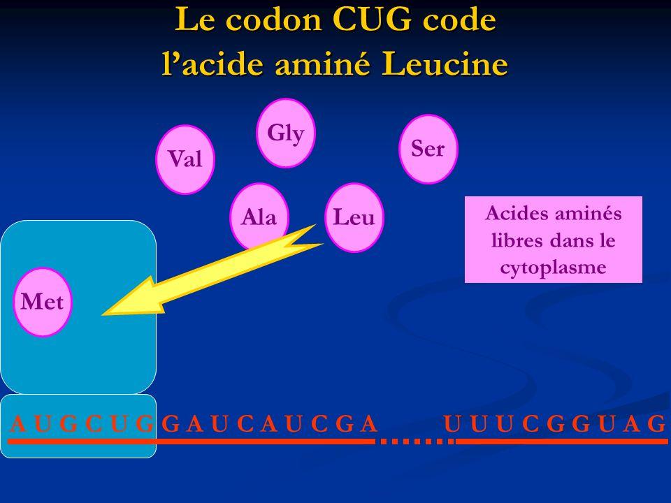 Le codon CUG code lacide aminé Leucine A U G C U G G A U C A U C G AU U U C G G U A G Met AlaLeu Val Gly Ser Acides aminés libres dans le cytoplasme