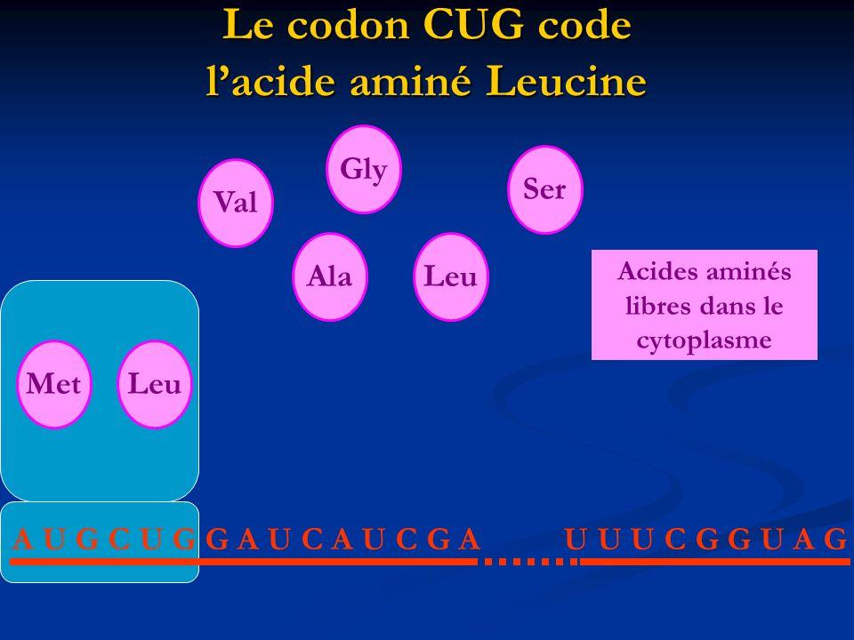 Formation de la liaison peptidique entre les deux acides aminés = Élongation A U G C U G G A U C A U C G AU U U C G G U A G MetAlaLeuValGlySer Acides aminés libres dans le cytoplasme Leu
