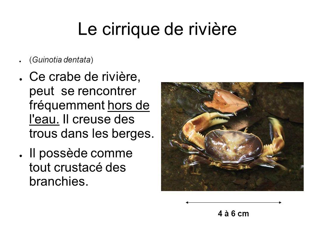 Le cirrique de rivière (Guinotia dentata) Ce crabe de rivière, peut se rencontrer fréquemment hors de l'eau. Il creuse des trous dans les berges. Il p