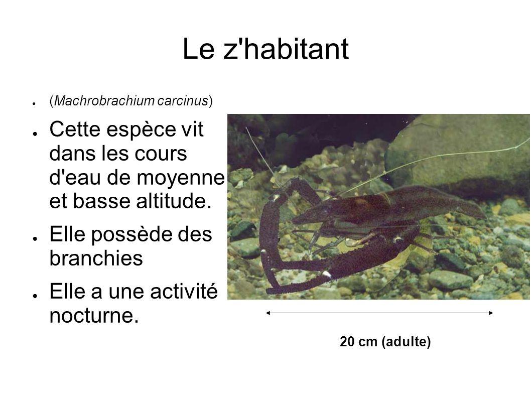 Le z'habitant (Machrobrachium carcinus) Cette espèce vit dans les cours d'eau de moyenne et basse altitude. Elle possède des branchies Elle a une acti