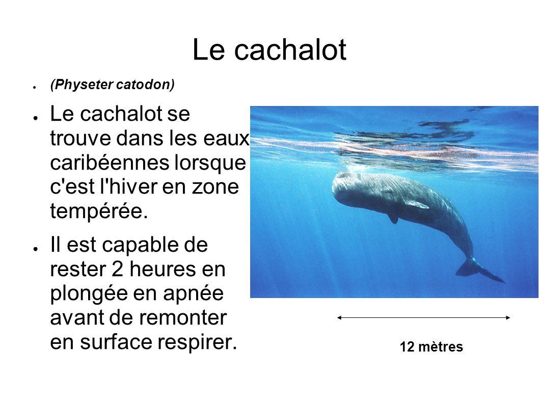 Le cachalot (Physeter catodon) Le cachalot se trouve dans les eaux caribéennes lorsque c'est l'hiver en zone tempérée. Il est capable de rester 2 heur