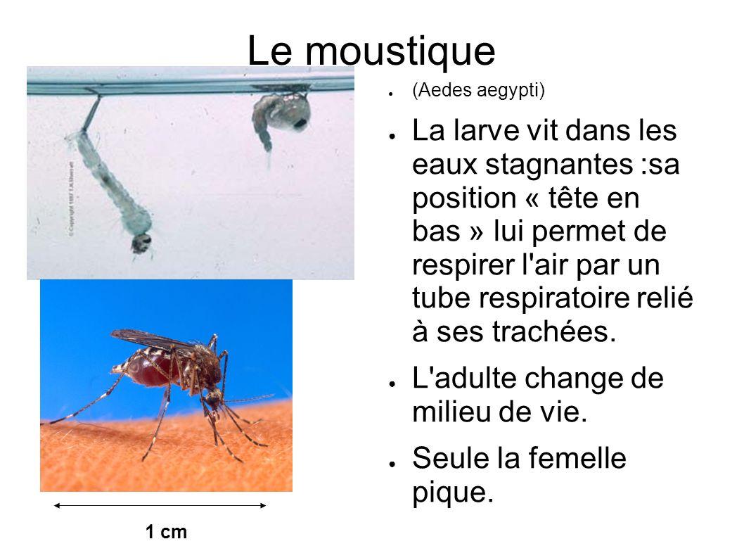 Le moustique (Aedes aegypti) La larve vit dans les eaux stagnantes :sa position « tête en bas » lui permet de respirer l'air par un tube respiratoire