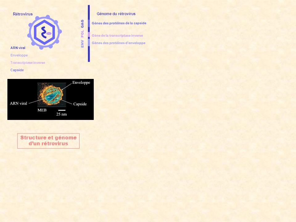 ENV POL GAG Gènes des protéines denveloppe Gènes des protéines de la capside Gène de la transcriptase inverse Génome du rétrovirus CELLULE HOTE ADN chromosomique de la cellule hôte NoyauCytoplasme Cycle réplicatif dun rétrovirus Rétrovirus Enveloppe Capside ARN viral Transcriptase inverse