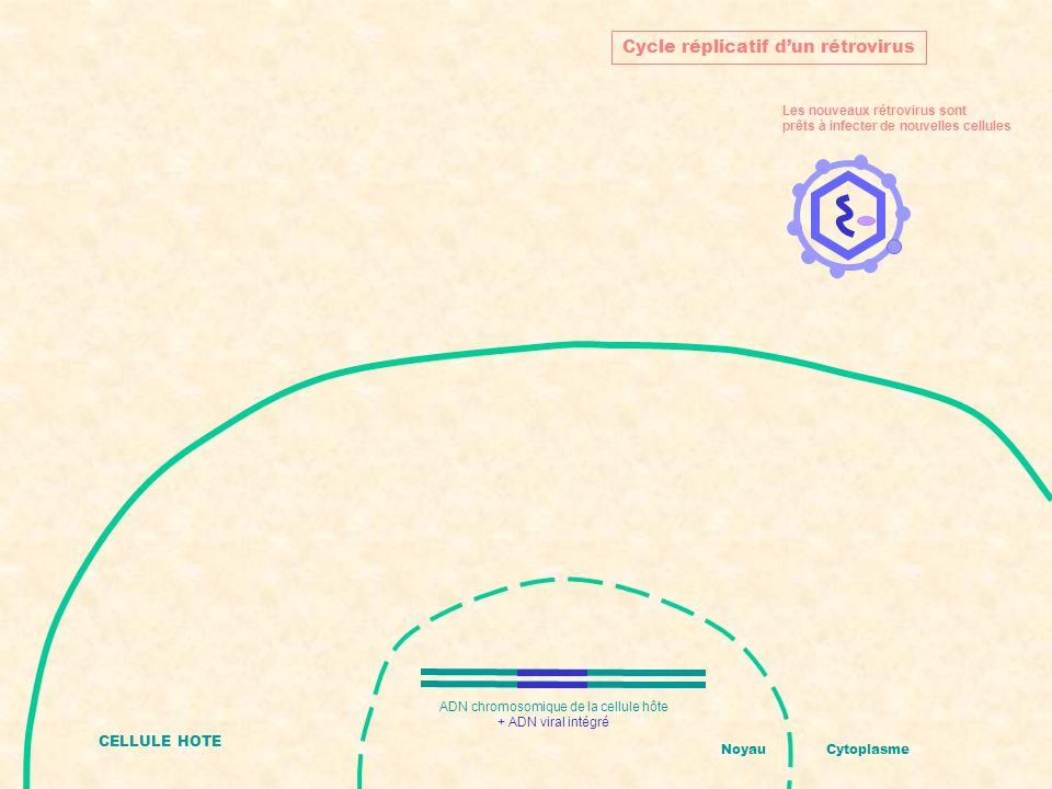 CELLULE HOTE NoyauCytoplasme Cycle réplicatif dun rétrovirus Les nouveaux rétrovirus sont prêts à infecter de nouvelles cellules ADN chromosomique de