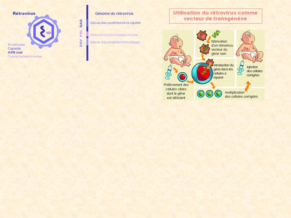 ENV POL GAG Gènes des protéines denveloppe Gènes des protéines de la capside Gène de la transcriptase inverse Génome du rétrovirus Utilisation du rétr