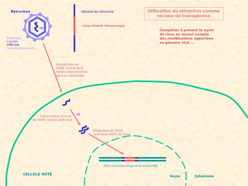 Génome du rétrovirus Utilisation du rétrovirus comme vecteur de transgénèse Gène dintérêt thérapeutique Rétrovirus Enveloppe Capside ARN viral Transcr