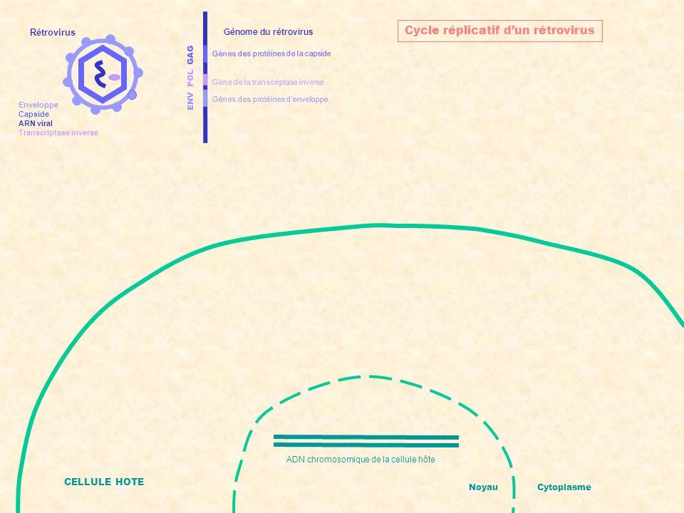 ENV POL GAG Gènes des protéines denveloppe Gènes des protéines de la capside Gène de la transcriptase inverse Génome du rétrovirus CELLULE HOTE ADN chromosomique de la cellule hôte NoyauCytoplasme Cycle réplicatif dun rétrovirus Introduction de lARN viral et de la transcriptase inverse dans la cellule hôte Rétrovirus Enveloppe Capside ARN viral Transcriptase inverse