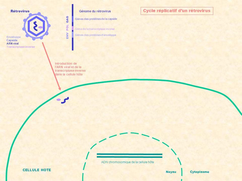 ENV POL GAG Gènes des protéines denveloppe Gènes des protéines de la capside Gène de la transcriptase inverse Génome du rétrovirus CELLULE HOTE ADN chromosomique de la cellule hôte NoyauCytoplasme Cycle réplicatif dun rétrovirus Transcription inverse de lARN viral en ADN viral Rétrovirus Enveloppe Capside ARN viral Transcriptase inverse