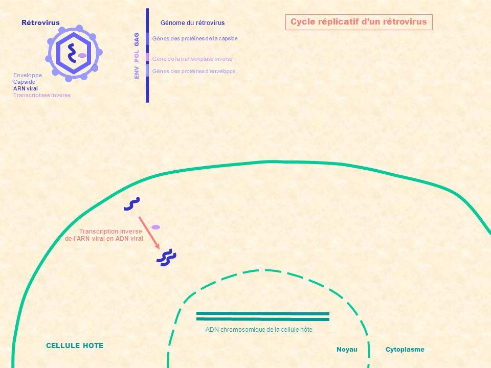 ENV POL GAG Gènes des protéines denveloppe Gènes des protéines de la capside Gène de la transcriptase inverse Génome du rétrovirus CELLULE HOTE ADN chromosomique de la cellule hôte + ADN viral intégré NoyauCytoplasme Cycle réplicatif dun rétrovirus Intégration de lADN viral dans lADN de lhôte Rétrovirus Enveloppe Capside ARN viral Transcriptase inverse