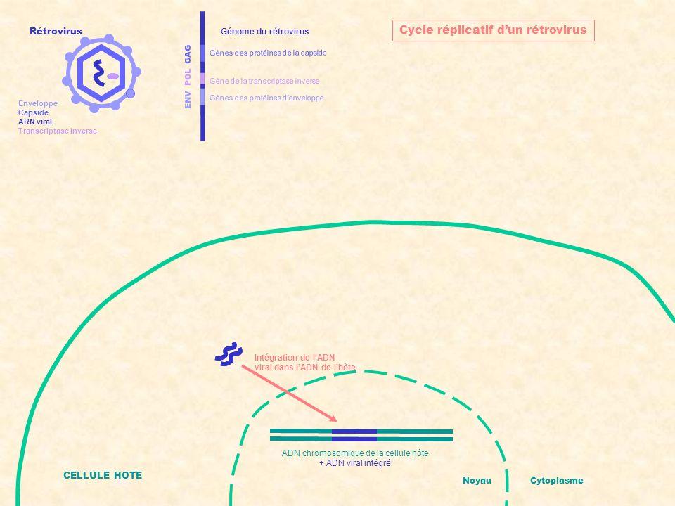 ENV POL GAG Gènes des protéines denveloppe Gènes des protéines de la capside Gène de la transcriptase inverse Génome du rétrovirus CELLULE HOTE NoyauCytoplasme Cycle réplicatif dun rétrovirus Transcription de lADN viral en ARNm ADN chromosomique de la cellule hôte + ADN viral intégré Rétrovirus Enveloppe Capside ARN viral Transcriptase inverse