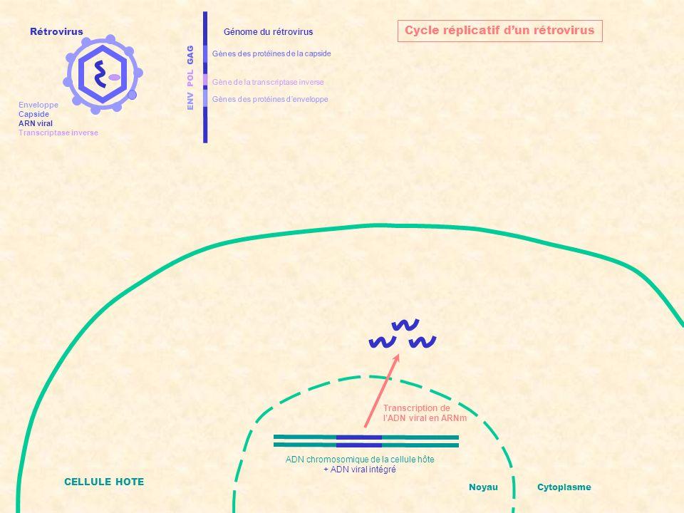 ENV POL GAG Gènes des protéines denveloppe Gènes des protéines de la capside Gène de la transcriptase inverse Génome du rétrovirus CELLULE HOTE NoyauCytoplasme Cycle réplicatif dun rétrovirus Synthèse des protéines virales ADN chromosomique de la cellule hôte + ADN viral intégré Rétrovirus Enveloppe Capside ARN viral Transcriptase inverse