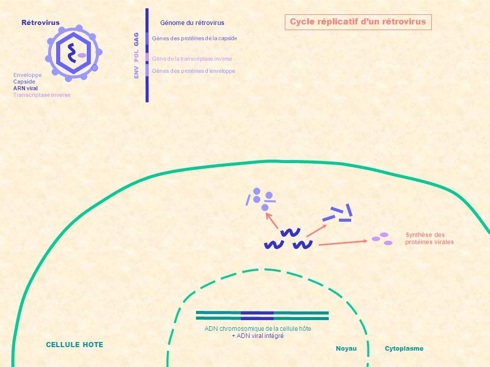 ENV POL GAG Gènes des protéines denveloppe Gènes des protéines de la capside Gène de la transcriptase inverse Génome du rétrovirus Assemblage de nouveaux rétrovirus CELLULE HOTE NoyauCytoplasme Cycle réplicatif dun rétrovirus ADN chromosomique de la cellule hôte + ADN viral intégré Rétrovirus Enveloppe Capside ARN viral Transcriptase inverse