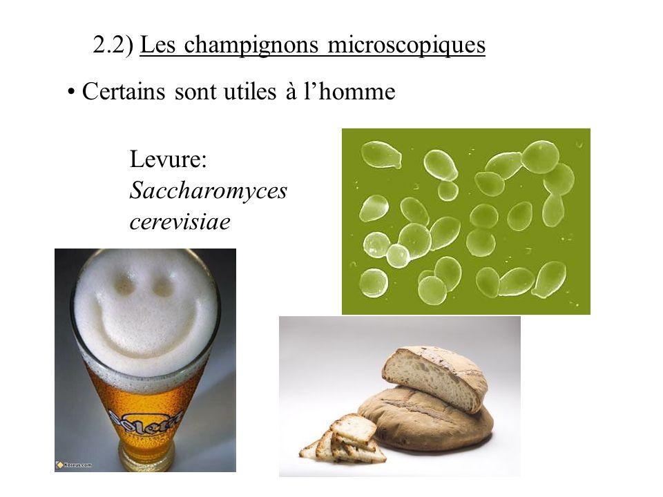 2) Les différents groupes de microorganismes 2.1) Les protozoaires Beaucoup sont inoffensifs pour lhomme paramécie Certains sont pathogènes Hématozoai