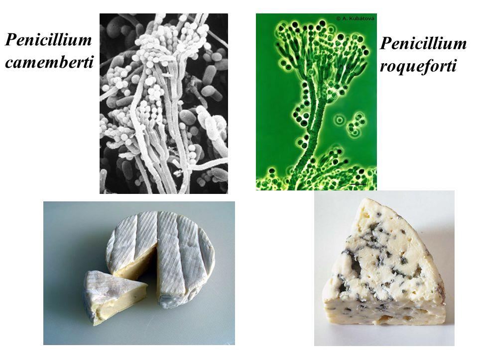 2.2) Les champignons microscopiques Certains sont utiles à lhomme Levure: Saccharomyces cerevisiae