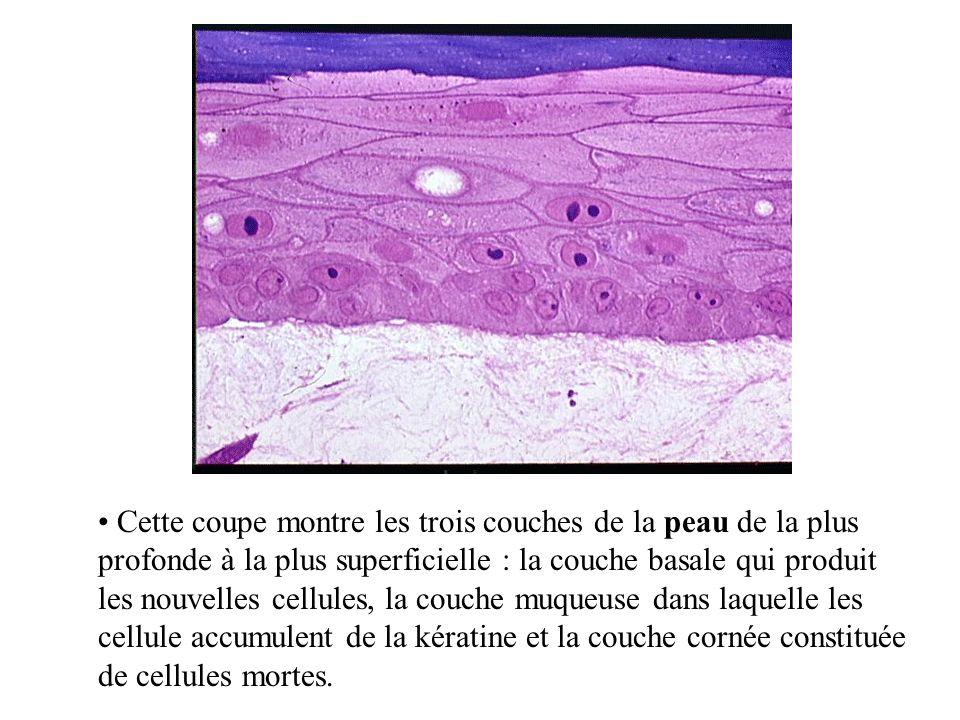1) LES CELLULES ANIMALES Cellules de la muqueuse buccale LA CELLULE EUCARYOTE